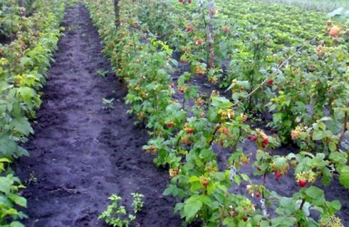 Аграрії давно відмовилися від такого способу посадки малини, як «для кожного саджанця - своя лунка» і садять її в траншеї.