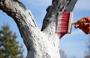 Підготовка плодових дерев до зими