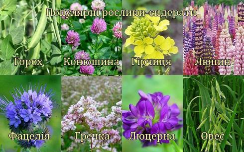 Популярні рослини-сидерати