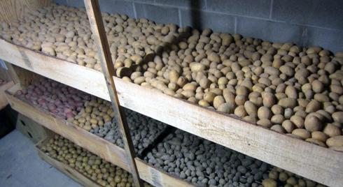 Для зберігання бульб картоплі бажано зробити два окремих відсіки: один - для харчових цілей, інший - для насіннєвої картоплі. Їх можна спорудити у вигляді дерев'яних перегородок з окремих дощок або цільних щитів