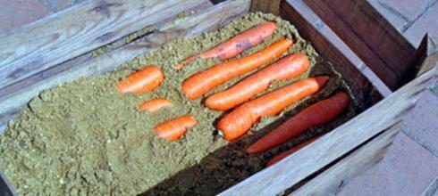 Зберігання моркви у піску