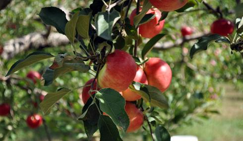 Від часу збирання плодів пізніх сортів дозрівання в значній мірі залежить їх стійкість до різних захворювань під час зберігання.