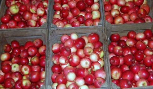 Зібрані та відсортовані яблука відразу укладаються в підготовлені дерев'яні ящики, корзини або картонні коробки для зберігання.