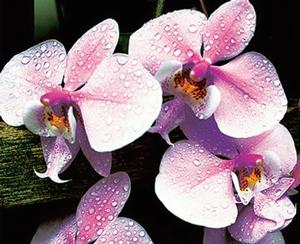 Догляд за орхідеєю у горщику