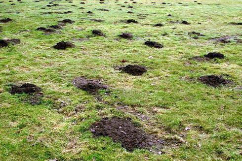 Шкідники проривають ходи, викидаючи землю назовні, в результаті чого і утворюються характерні горбки.