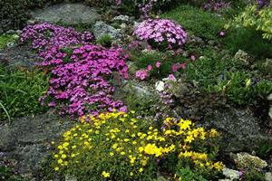 Ґрунтопокривні (килимові) рослини – просте рішення для затишних куточків саду
