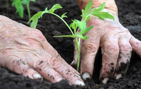 Правильна висадка розсади помідорів - одна з головних складових їх гарного росту