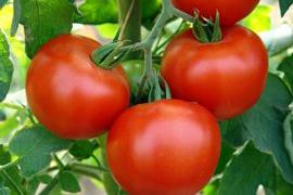 11 помилок при вирощуванні помідорів