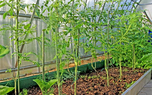Одними з найбільш складних в вирощуванні вважаються помідори