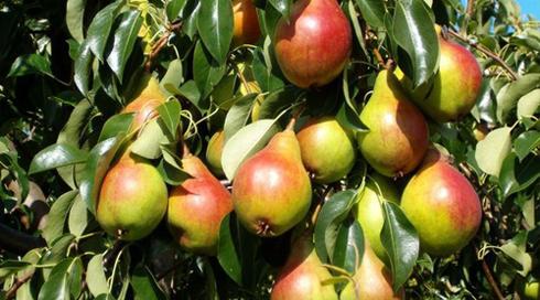 Плоди груші завжди солодкі і соковиті, тому вони чудово піддаються сушці, маринуванню, а також варінні з них всіляких джемів і варення.