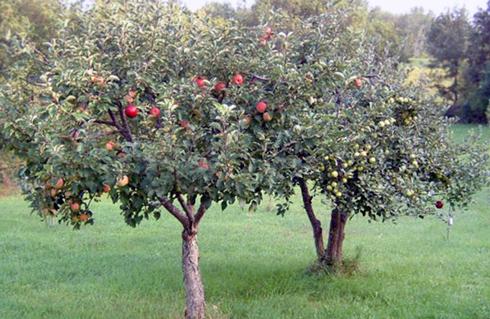 Крона яблуні, сформована у формі вази