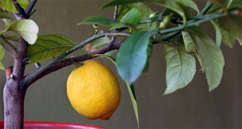 Цитрусові кімнатні рослини в інтер'єрі завжди виглядають чудово, але вони радують нас не тільки відмінним зовнішніми виглядом, але і їстівними плодами