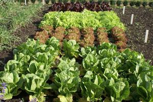 Що посадити на городі та як правильно спланувати посадки?