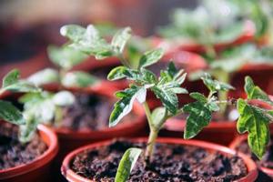 Вирощування розсади помідорів в домашніх умовах