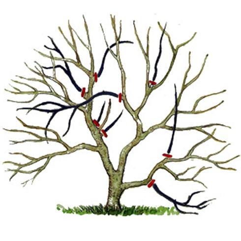Схема обрізки плодових дерев весною