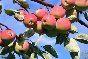 Як правильно обрізувати плодові дерева весною