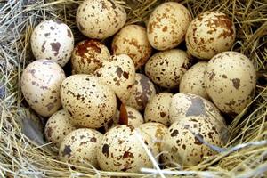 Перепелині яйця — користь та шкода, як вживати