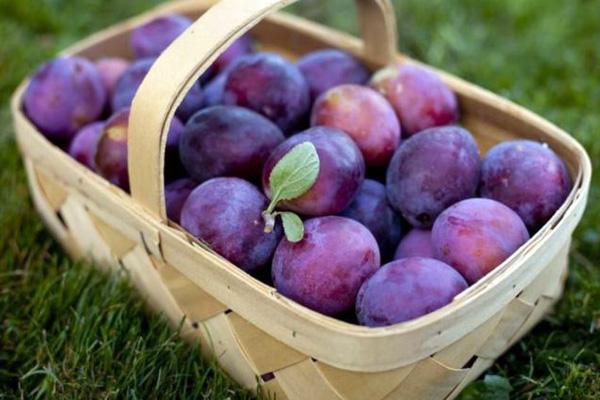 Для якісного чорносливу потрібно вибирати тільки самі найкращі плоди