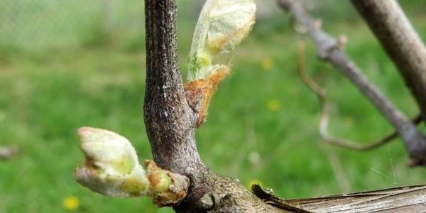 Весняний період посадки виноградника має свої позитивні та негативні сторони