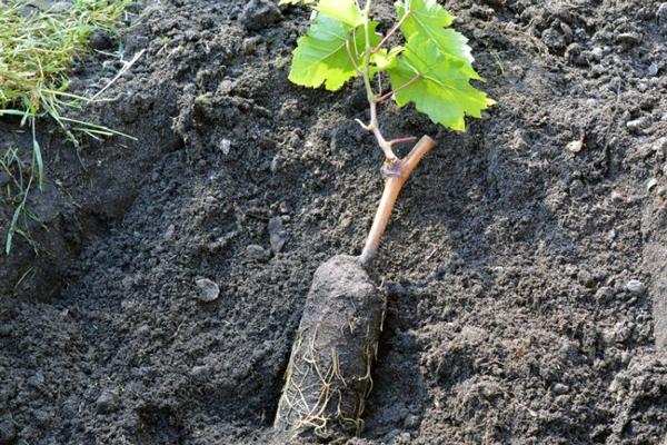 Для активного росту кореневої системи рекомендується внесення від 100 до 300 грам суперфосфату, в нижній шар грунту, що закладається на дно ями