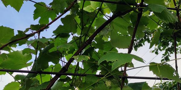 Для більшості регіонів України, для весняної посадки у відкритий грунт саджанців винограду, оптимальним вважається травень місяць