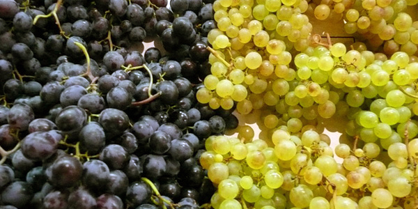 Для вирощування винограду в приватному господарстві для дачі або присадибній ділянці, найкраще вибирати невибагливі сильнорослі сорти, стійкі до хвороб і шкідників і які дають щедрий урожай