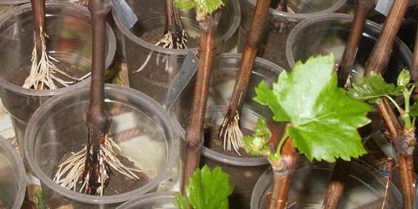 При покупці саджанців потрібно уважно оглядати стан кореневої системи - вона повинна бути добре розвинутою