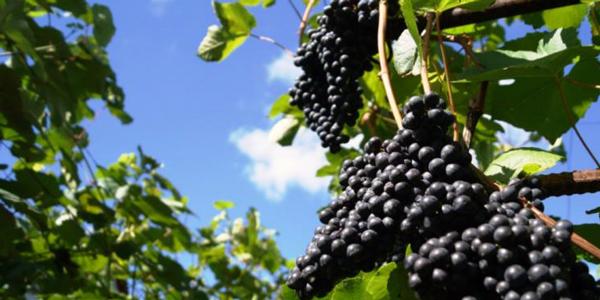 Якщо ви вирішили обрати місце винограду біля будинку або будь-якої іншої споруди, то краще, при можливості, розміщувати його з південної, південно-західної або західної сторони
