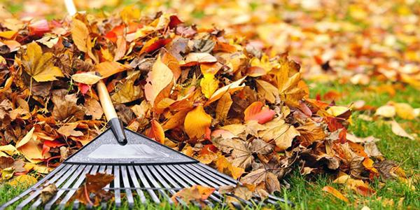 Помилково вважати, що опале листя буде корисне в якості природного добрива. Тому, восени його слід обов'язково прибрати віяловими граблями, щоб звільнити траву.