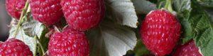 Як і коли краще садити малину, та доглядати за нею?