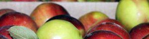 Як збирати та зберігати яблука?
