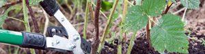 Як обрізати малину восени. Чому важлива осіння обрізка?