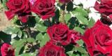 Розмноження троянд живцями – основні способи